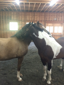 Appa and Spirit giving each other scratches before being lunged.