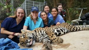 Performing an annual exam on a jaguar with the veterinary medical team from my Honduras spring break trip.