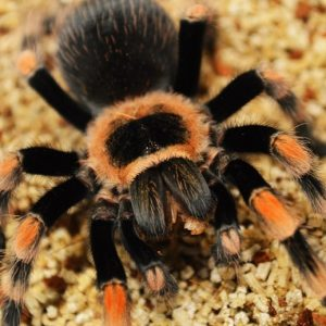 Juanita, my Mexican Red Knee Tarantula.