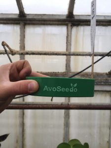Figure 1: Avoseed® is a buoyant tool that lets your avocado be  exposed to water and allows for easy visual of the germination and  growth of the seedling