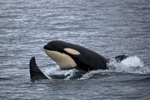 Photo of a Killer Whale taken by the National Park Service.