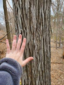 ShagbarkHickory Tree3